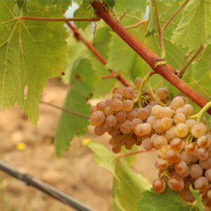 Vina Costeira enoturismo origen del Ribeiro uvas